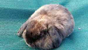 ABSOLUTELY GORGEOURS 2 PURE MINI LOP DOES Cranbourne Casey Area Preview