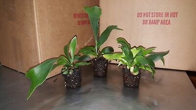 5 Staghorn Fern's ' Netherlands ' , South Florida Grown