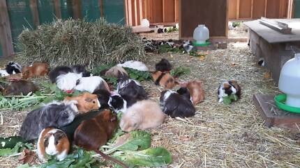 Guinea pigs at The Crofters Croft