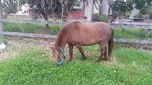 Shetland Pony Mare Wingham Greater Taree Area Preview