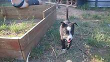 Border collie x Koolie pups Russell Island Redland Area Preview