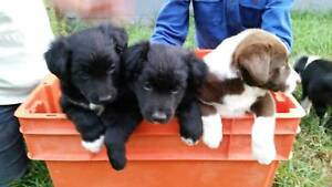 Border Collie Kelpie cross puppies