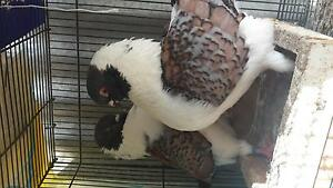 Modena king pigeons  show quality birds Silverwater Auburn Area Preview