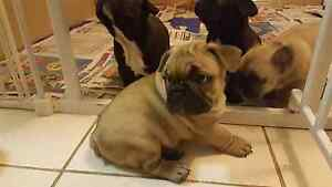 French bulldog puppies Langwarrin Frankston Area Preview