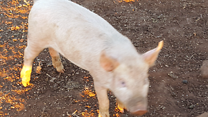 Pigs  (Piglets) Toodyay Toodyay Area Preview