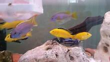 African Cichlids for sale (Electric yellows and Purple acai Westmead Parramatta Area Preview