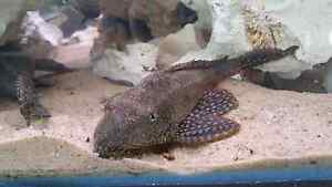 Spotted Pleco ( common ) Two Wells Mallala Area Preview