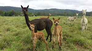 Alpacas for sale sheep goat poultry herd guards Woodford Moreton Area Preview