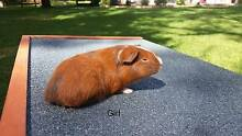 Cute baby guinea pigs for sale Kangy Angy Wyong Area Preview