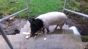 Small pig for sale Hurstville Hurstville Area Preview