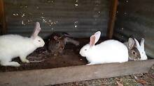Pure Bred British Giant Rabbits 16 weeks old Cygnet Huon Valley Preview