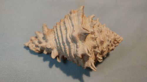 RareFOSSILVASE CONCH SHELL from FLORIDA -Vasum (Hystrivasum) horridum