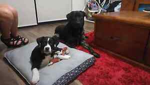 Lab x & border collie x lab Free to good home Albany Albany Area Preview