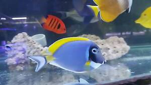 Powder blue tang marine fish Cabramatta West Fairfield Area Preview