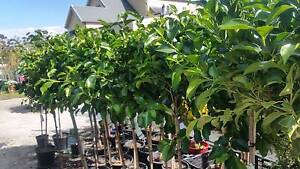 STANDARD FICUS IN 10IN POTS STANDING AT 1.35MTS FROM TOP OF POT Skye Frankston Area Preview