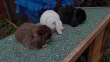 Chocolate Pure Breed Mini Lop Rabbit Ready Now! 0 Harris Park Parramatta Area Preview
