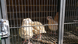 5 Quail for sale $5 each Cranbourne East Casey Area Preview