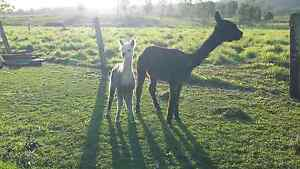 Female alpacas pregnant lots to choose from free delivery Woodford Moreton Area Preview