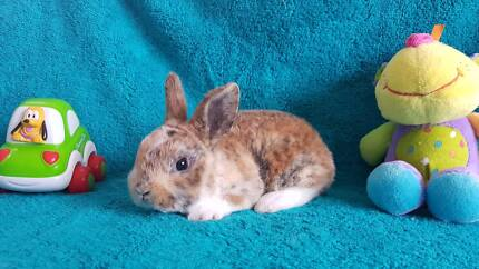 Purebred Mini Rex Babies Registered Club Member