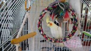 Handraised baby lutino cockatiel for sale Eatons Hill Pine Rivers Area Preview