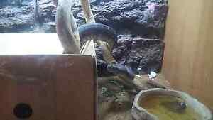 2 yr old male bredli python Durack Brisbane South West Preview
