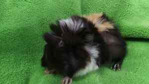 **** GUINEA PIGS QUALITY CARE FOR THE BEST START TO LIFE PACKAGE Londonderry Penrith Area Preview