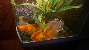 Gold fish for sale Whalan Blacktown Area Preview
