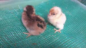 4 beautiful Chicken 1 week old Isabrown unsexed! Cooloongup Rockingham Area Preview