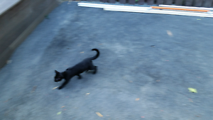 Found kitten wynyard Wynyard Waratah Area Preview