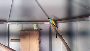 Hooded parrots Cordalba Bundaberg Surrounds Preview