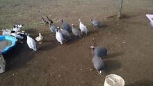 Muscovy Ducklings & Guinea Fowl Dreeite Colac-Otway Area Preview