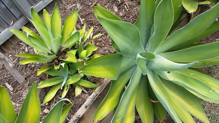 Large Agaves with 'pups'