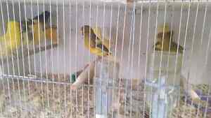 Healthy Show bred  Canaries Whittlesea Whittlesea Area Preview