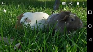 Two guinea pigs free to a good home