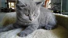 ADORABLE BRITISH SHORTHAIR KITTENS Carina Brisbane South East Preview