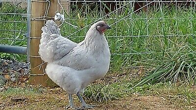 12 Buff Orpington Fertile Hatching Eggs Ships from Ohio 1 dozen