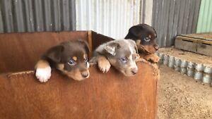 Koolie x kelpie puppies
