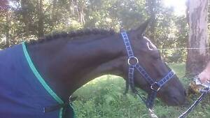 Beautiful black/brown filly Berkeley Vale Wyong Area Preview
