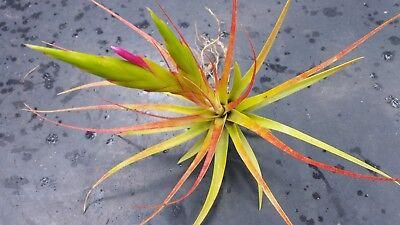 Bromeliad Tillandsia concolor Exotic Tropical Air - Exotic Bromeliad Plant