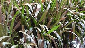 CYMBIDIUM ORCHID PLANTS POTTED UNKNOWN COLOURS Bull Creek Melville Area Preview