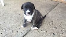 Staffy x staffy x bullmastiff! Pups stunning ! Ready for new home Caboolture Caboolture Area Preview