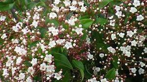 Viburnum Tinus grower direct perth shrub tree