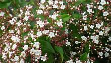 Viburnum Tinus grower direct perth shrub tree Darch Wanneroo Area Preview