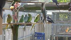 INDIAN RINGNECK PARROTS Cannonvale Whitsundays Area Preview