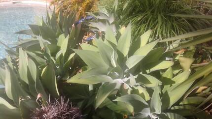 LARGE AGAVES VERY  EASILY TRANSPLANTED