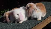 WHITE BROWN EYES BABY PURE BREED MINI LOP RABBITS FOR SALE Harris Park Parramatta Area Preview
