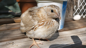 Free male Japanese quail Merrimac Gold Coast City Preview