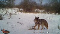 Coyote control