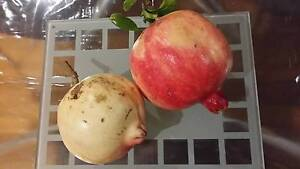 Pomegranate Plant Ashburton Boroondara Area Preview