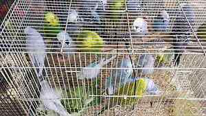 Budgies for sale mix lot Preston Darebin Area Preview
